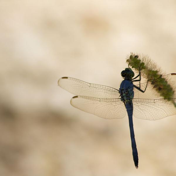 Mayfly on a grass seedhead