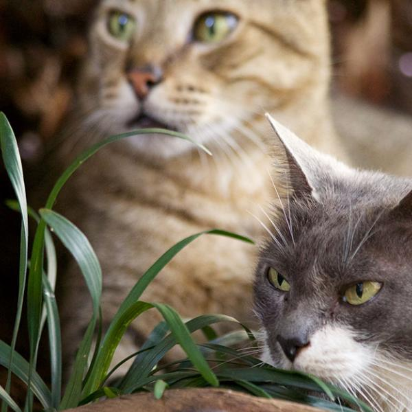 A yellow tabby cat and a gray, green eyed cat in some grass