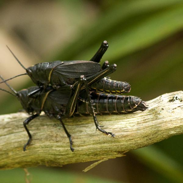 Two grasshoppers, one on top of the other, mating