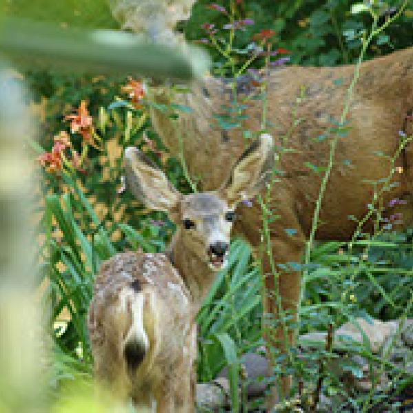 Fawn and doe among foliage