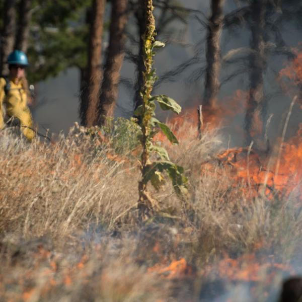 Two firefighters working to set a fire line for a controlled forest fire