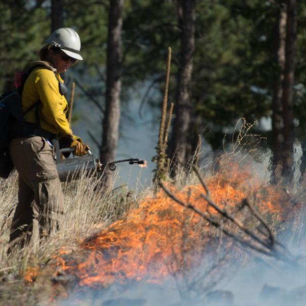 A fire fighter holds a flame thrower, near the edge of a fire line in a pine forest