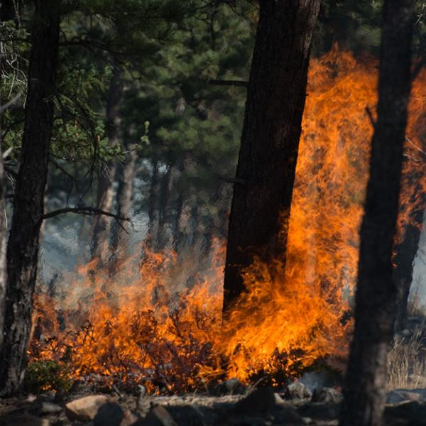 Flames rising up from the blackened ground into the tops of pine trees
