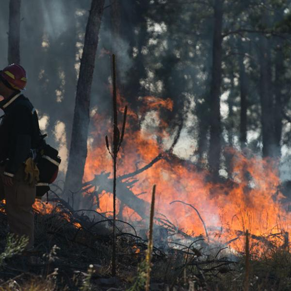 Burning underbrush in a controlled forest fire with a firefighter monitoring the situation