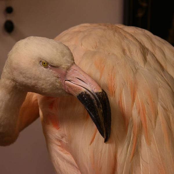 A poached and stuffed flamingo at the U.S.F.W.S. Wildlife Property Repository.