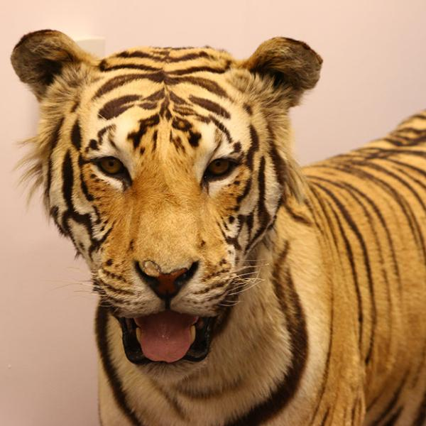 A poached and stuffed tiger that was confiscated by the U.S. Fish and Wildlife Service is on display at the Wildlife Property Repository in Commerce City, CO.