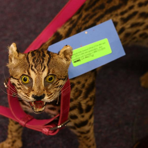 A poached and stuffed ocelot that was confiscated by the U.S. Fish and Wildlife Service is on display at the Wildlife Property Repository in Commerce City, CO.