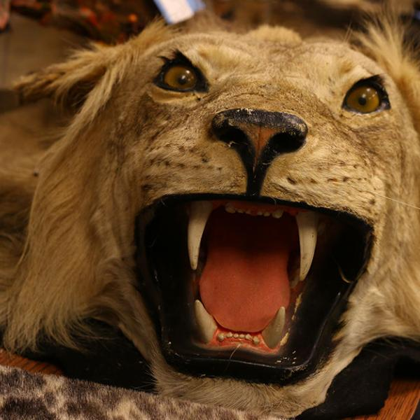 A stuffed lion confiscated by the U.S. Fish and Wildlife Service resides in the Wildlife Property Repository.