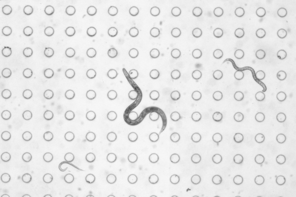 C. elegans worms imaged by the BSMP
