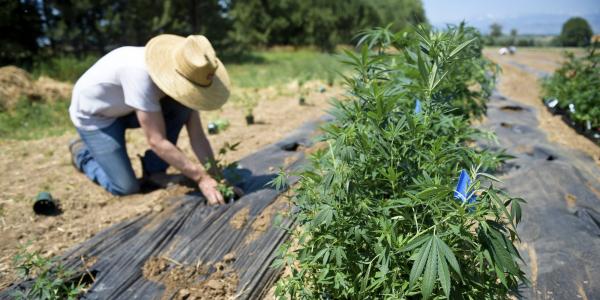 Front Range Biosciences CEO Jon Vaught plants a hemp plant in a hemp field in Lafayette Monday