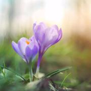 A purple crocus blooming