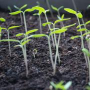 Plants sprout in dirt