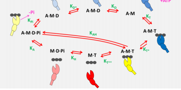 ATP driven actomyosin cross-bridge cycle