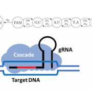 Schematic of gRNA binding, R-loop formation and Markov chain model