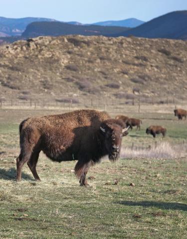 Inquisitive buffalo