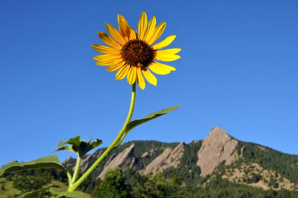 Sunflower in front of the Flatirons
