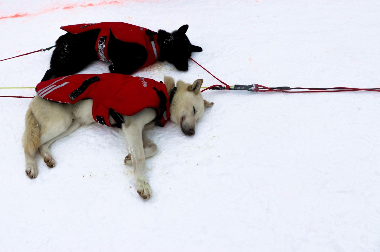 Dogs fall asleep after crossing the finishline in Whitehorse, Canada.