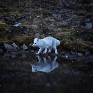 An Arctic fox pauses by a small pond just footsteps from a lodge where the CMCI team of students and faculty were staying while in Longyearbyen.