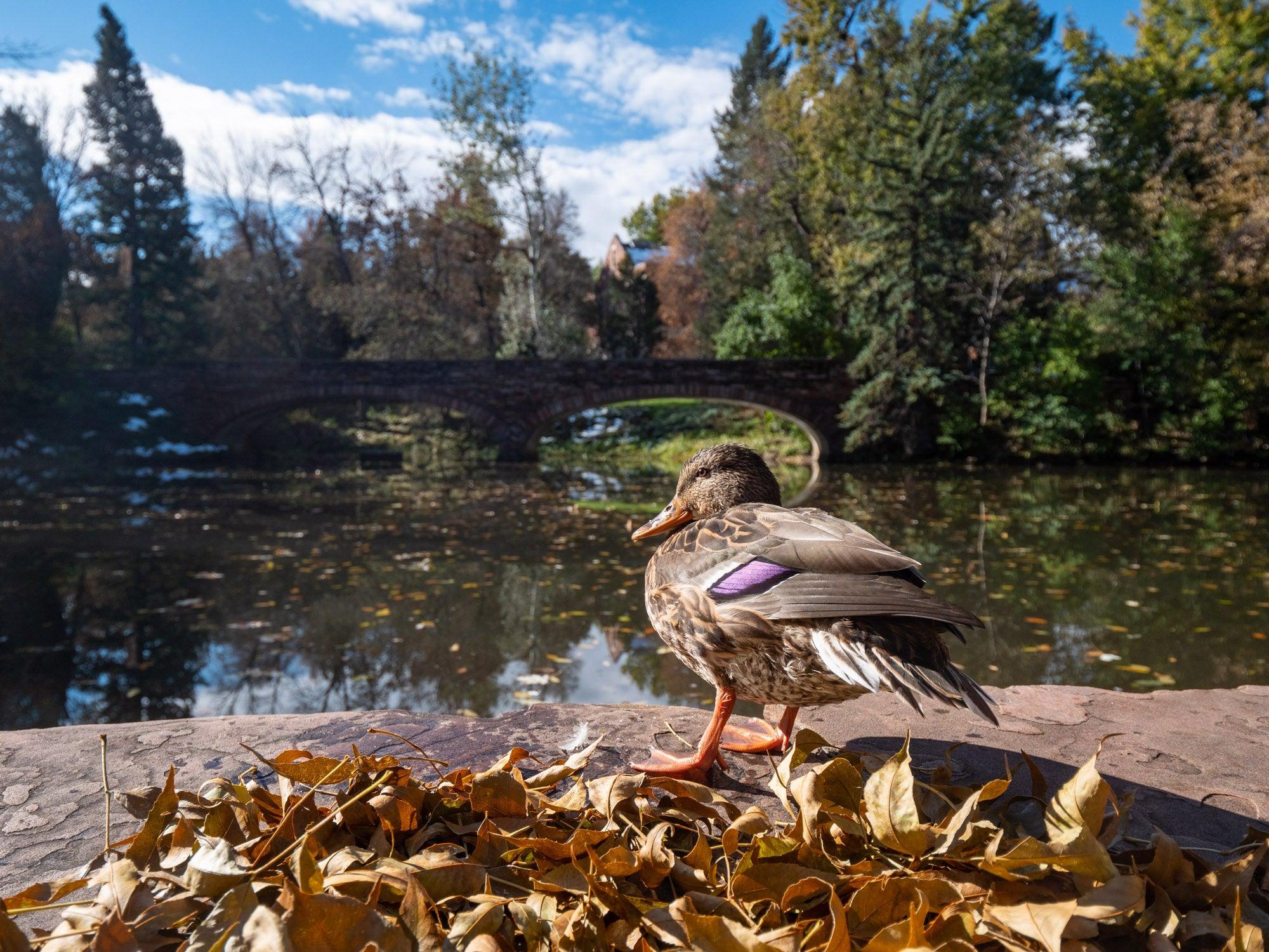 duck at Varsity Lake
