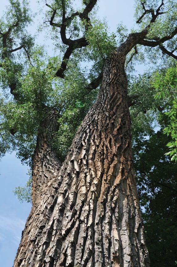 Oldest tree at CU
