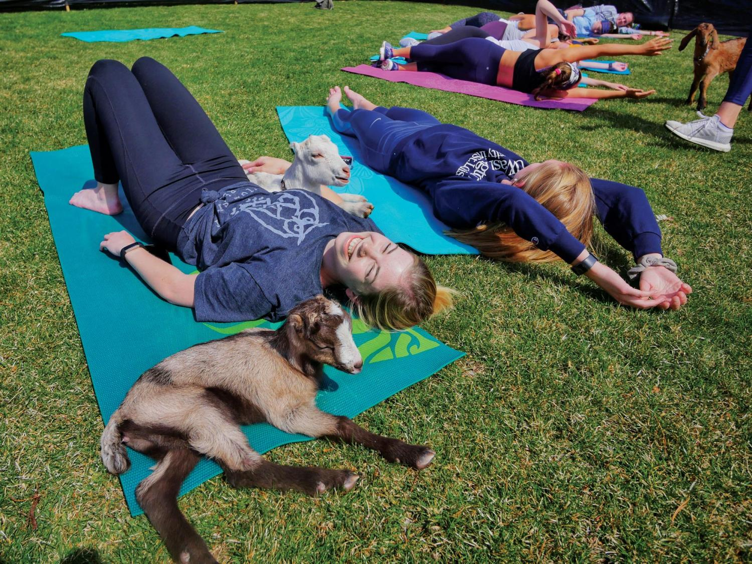 Students hang out with goats as they do yoga
