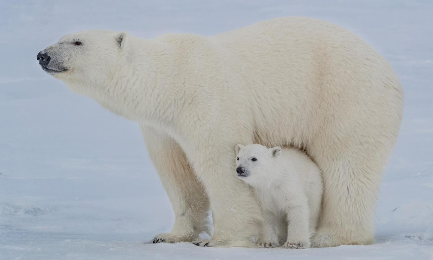 a polar bear mother standing over her baby
