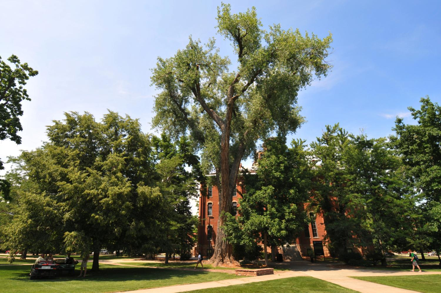 The oldest tree on campus, in front of Old Main Building