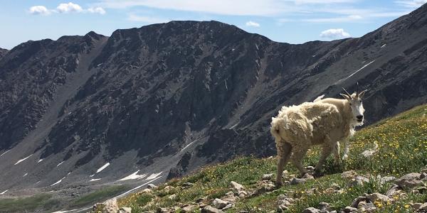 Mountain goat on Torrey's Peak