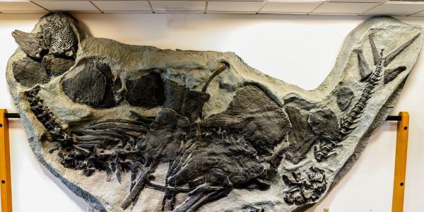 stegosaurus fossil