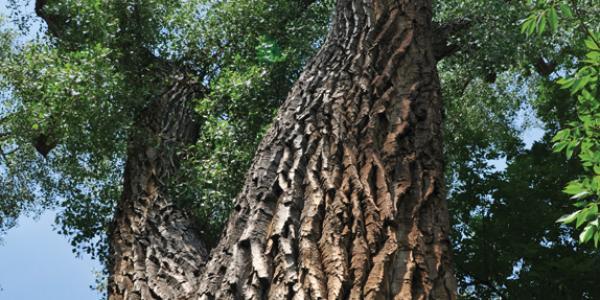 oldest cu tree