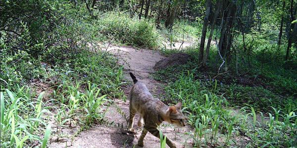 Madagascar Cat