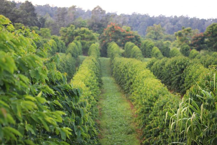 hawaii coffee field