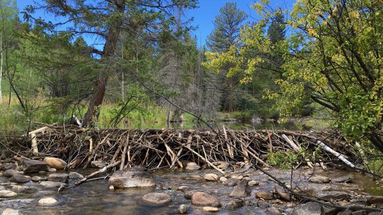 a beaver dam in Colorado