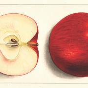 two red apples, one cut in half
