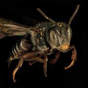 Closeup of bee