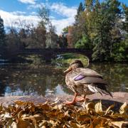 duck at varsity lake at CU