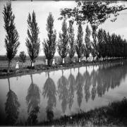 CU Cottonwood trees in 1909