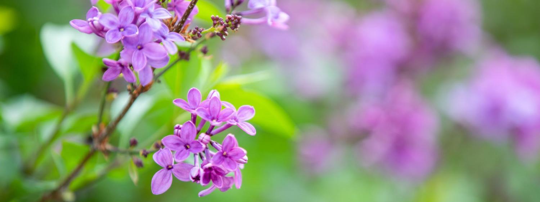 Purple flowers during springtime