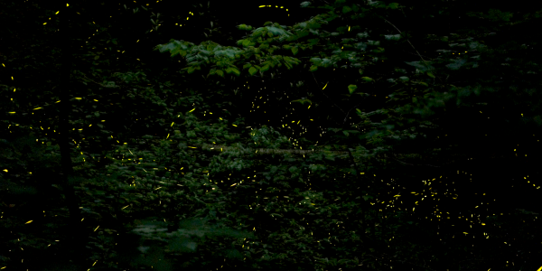 A stacked photograph of firefly flashes in Tennessee