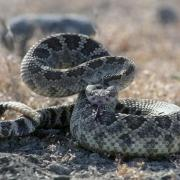 A western rattlesnake, coiled and ready to strike.