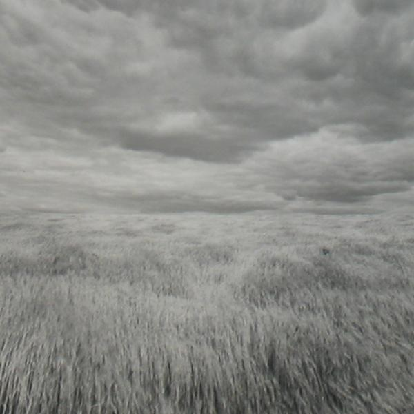 black and white photograph of a wheatfield