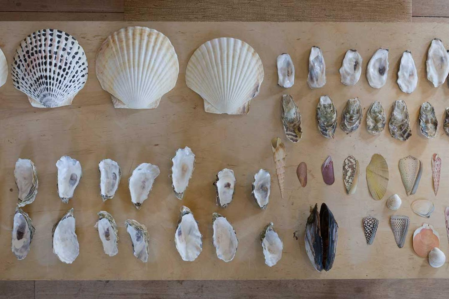Groupings of like seashells in rows