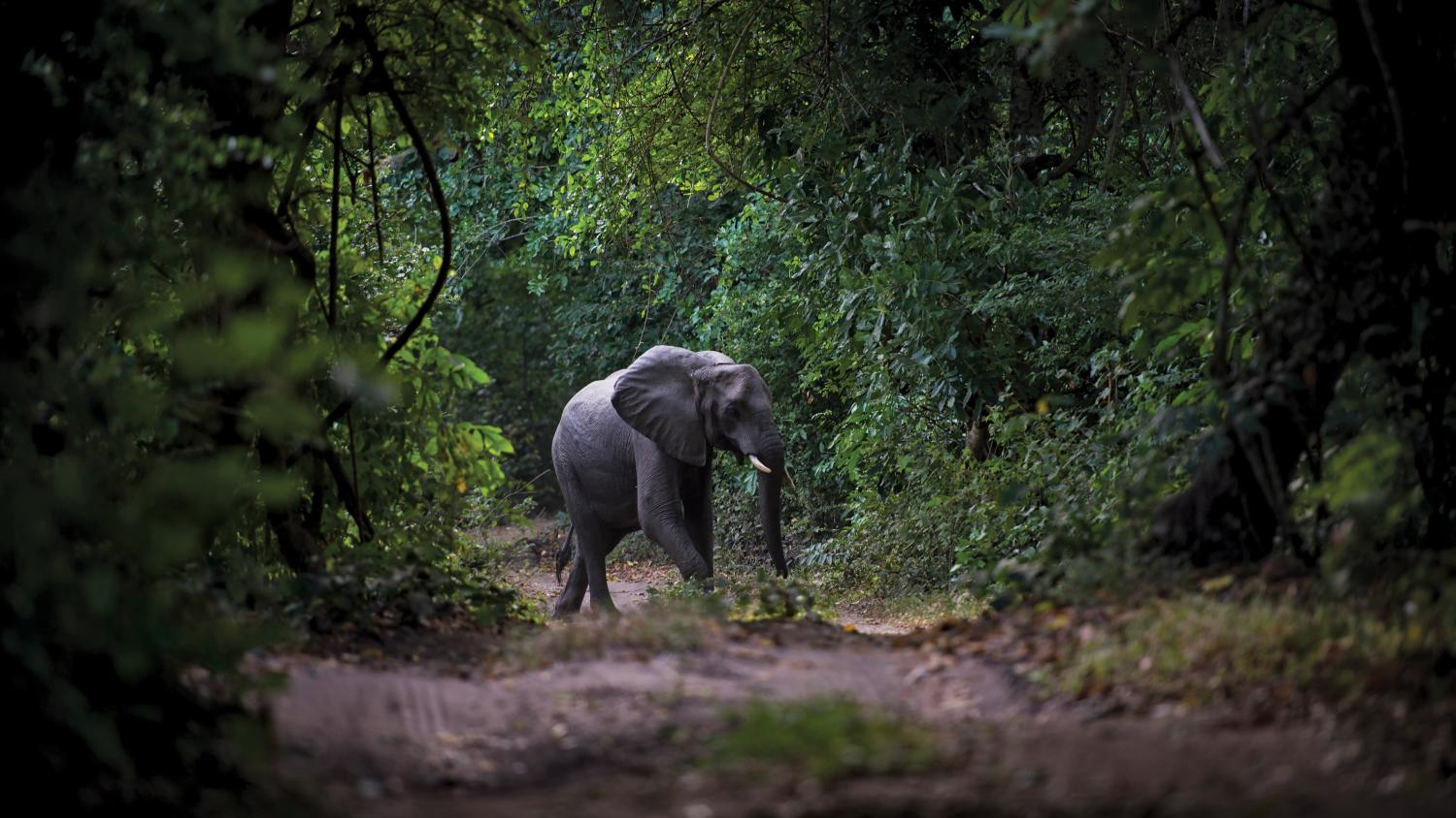 elephant walking through the forest in Tanzania, Africa.
