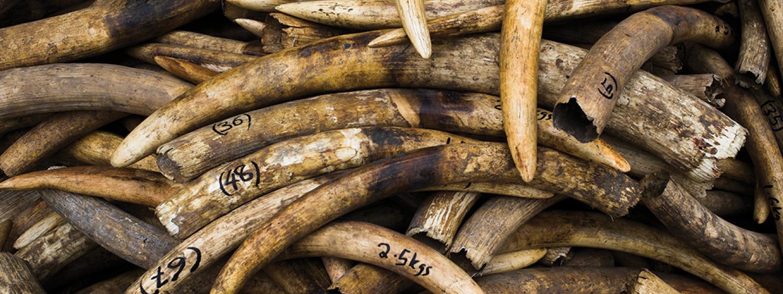 pile of elephant tusks