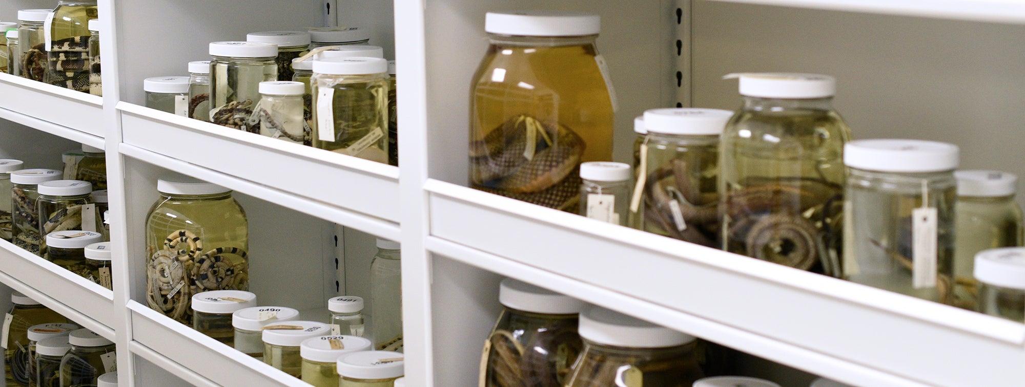 snake specimens in jars