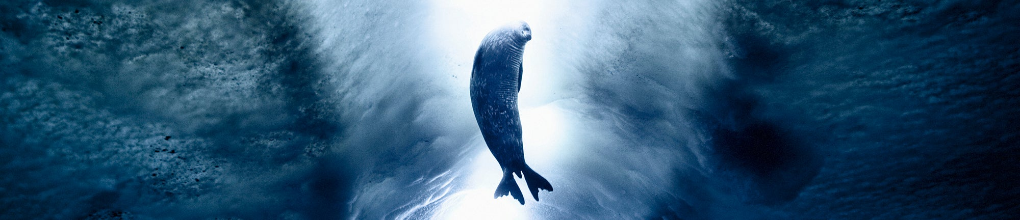 Seal swimming in Ross Sea