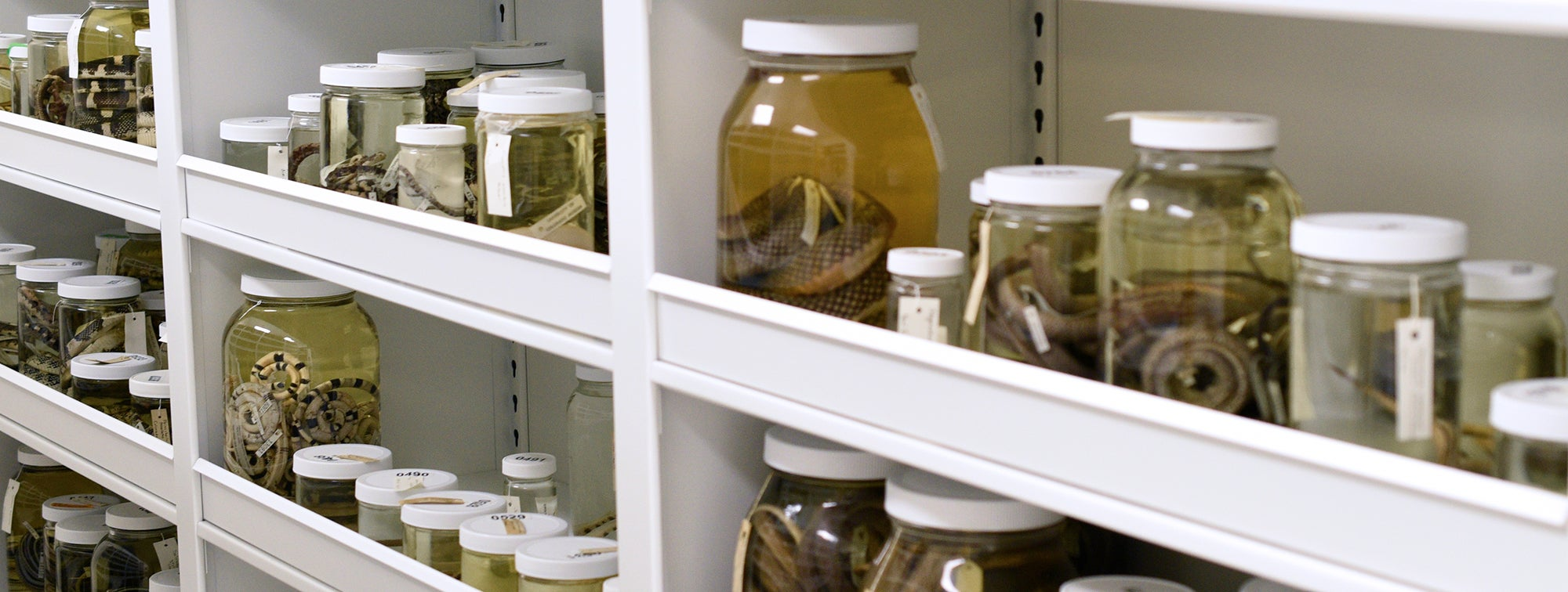 snake specimens in jars