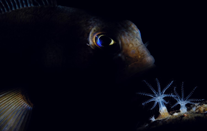 Tremetomus fish.