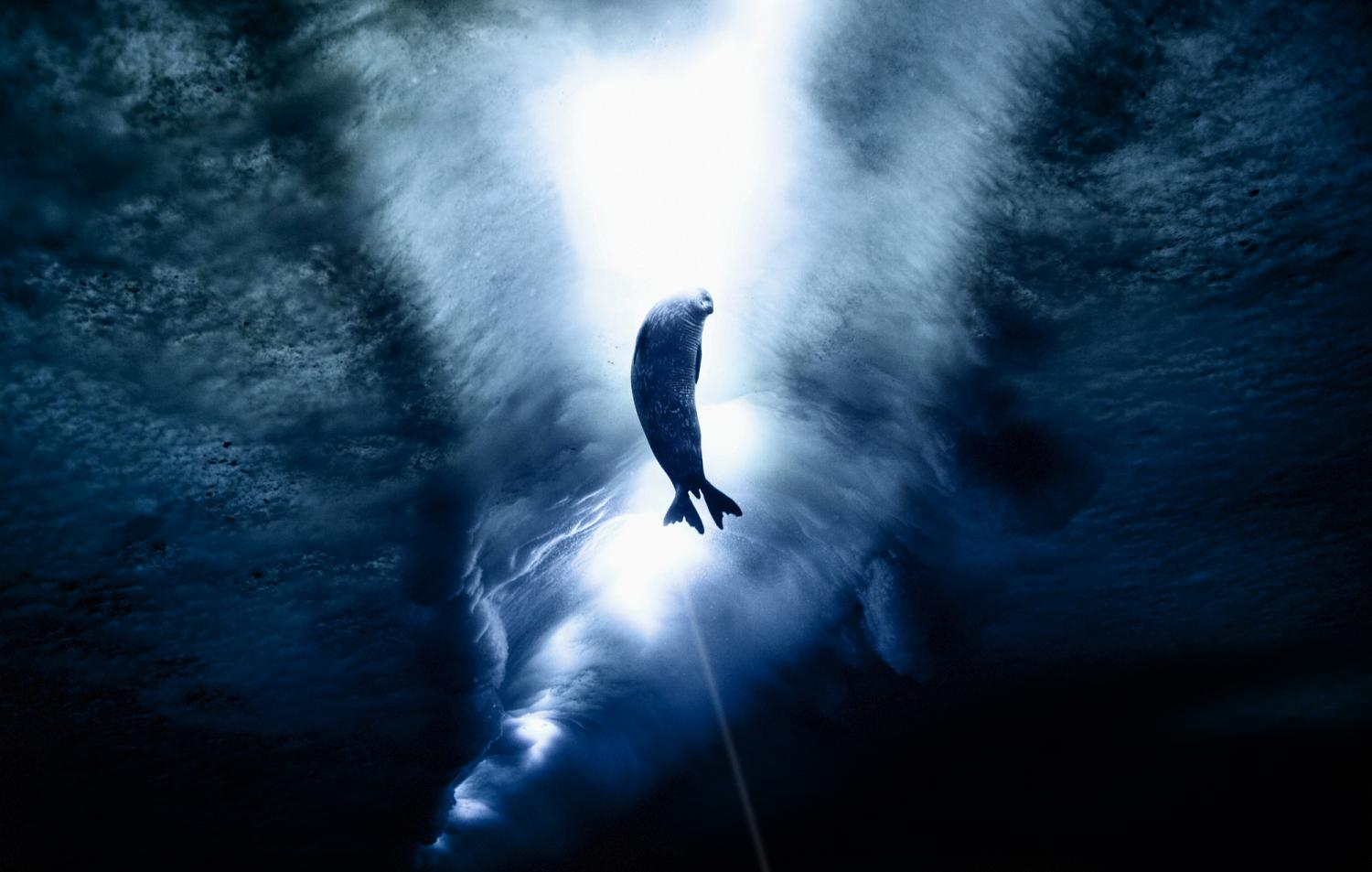 Wedell Seal swimming with sun shining through water.