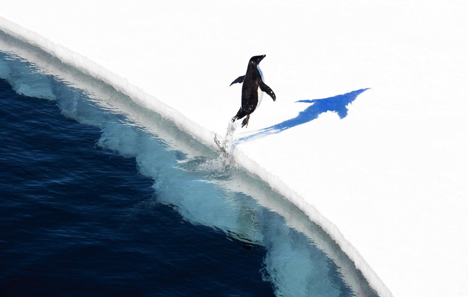 Adelie penguin jumping out of sea onto ice.